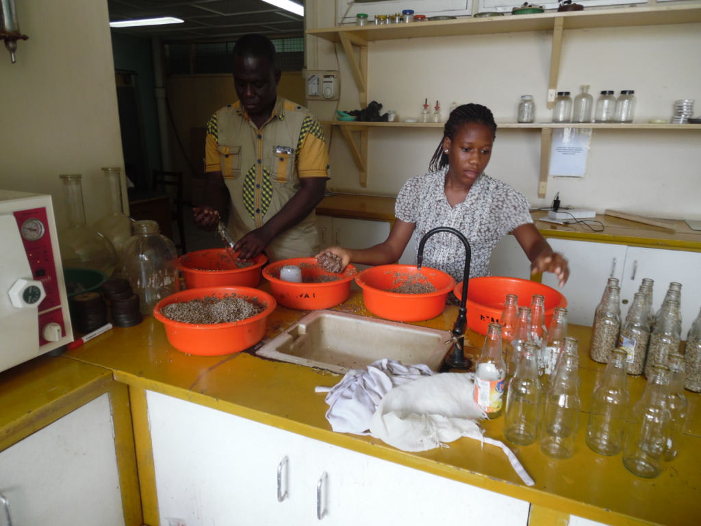 Ohene prepares millet for autoclaving
